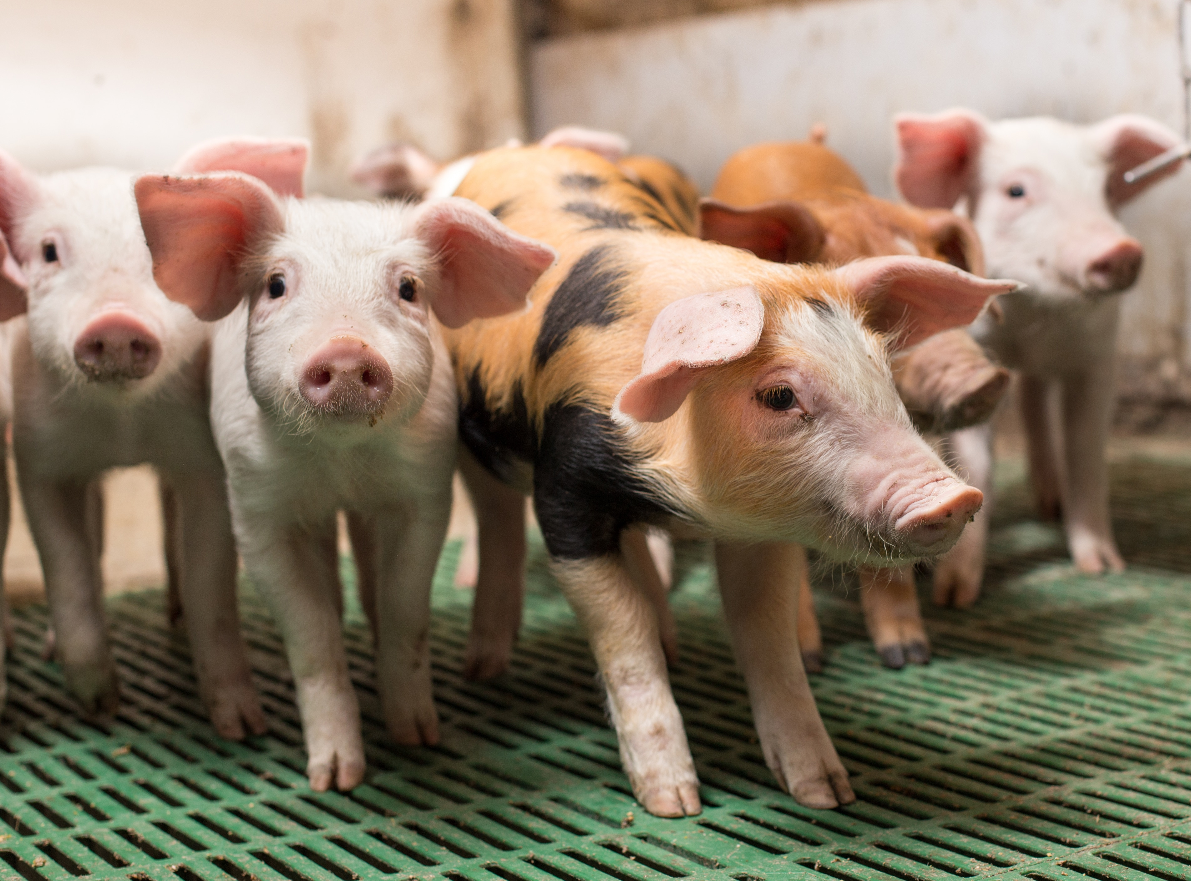Piglets fed with fermented rapeseed do better than those fed medicinal zinc (ZnO)