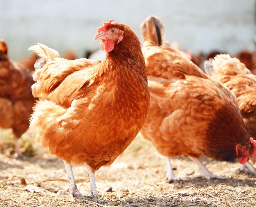 Æglæggende høne