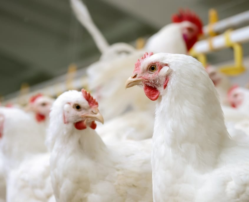 Fermented protein can improve the health and meet quality of broilers