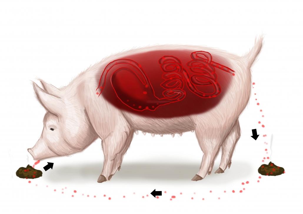 En illustration af det bakteriepres, som opbygges i svinestalden via gødning