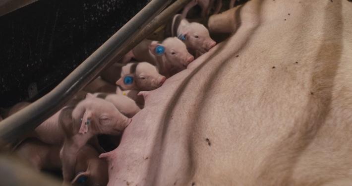 Et billede af pattegrise, der dier ved soen