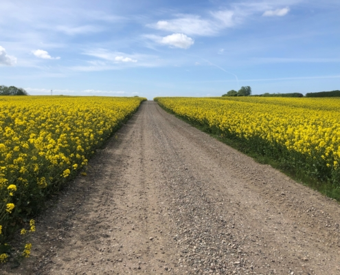 An image of a Danish rapeseed field in bloom